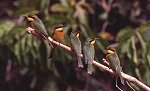 Little Bee-eaters © Gordon Langsbury
