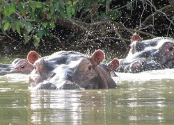 Hippos in the Gambia river