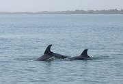 Bottlenose dolphins, The Gambia
